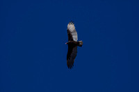 Turkey Vulture Fly-over