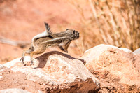 Gotta Dash (Antelope Ground Squirrel)