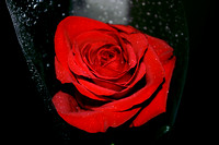 Red Rose with Dew