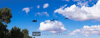 Raven in Flight (in three parts)